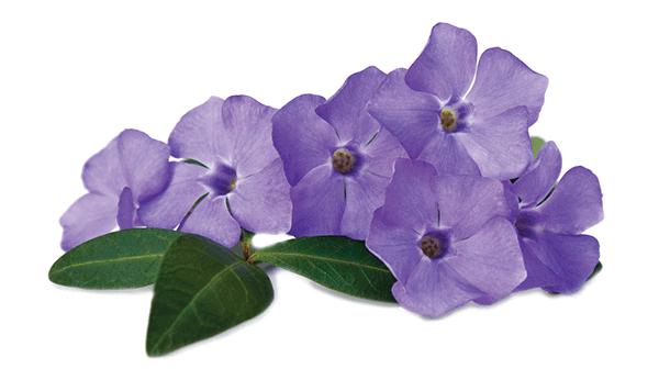 Vinpocetine Seeds