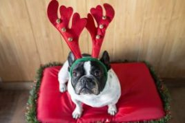 Dog dressed for Christmas with reindeer costume.
