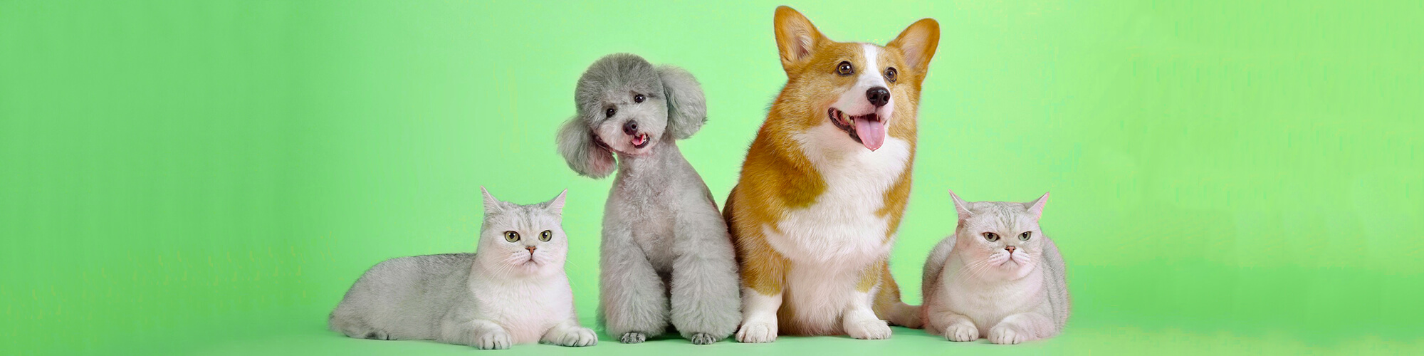 poodle corgi and two cats against a bright green background