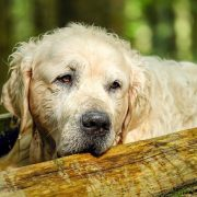 Joint Care for Your Senior Dog