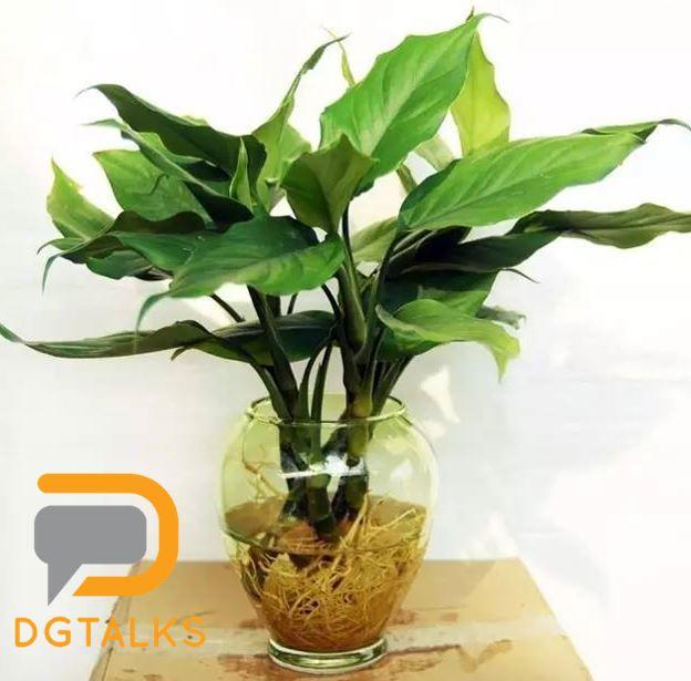 dg plant 万年青