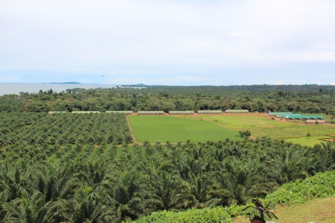 Part of the expansive plantation on the 9000 hectares Kalangala Island