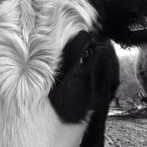 Black and White Cow, Dorset