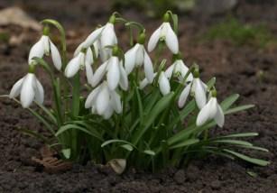 "Snow drop flower festival, Dorset"" width="