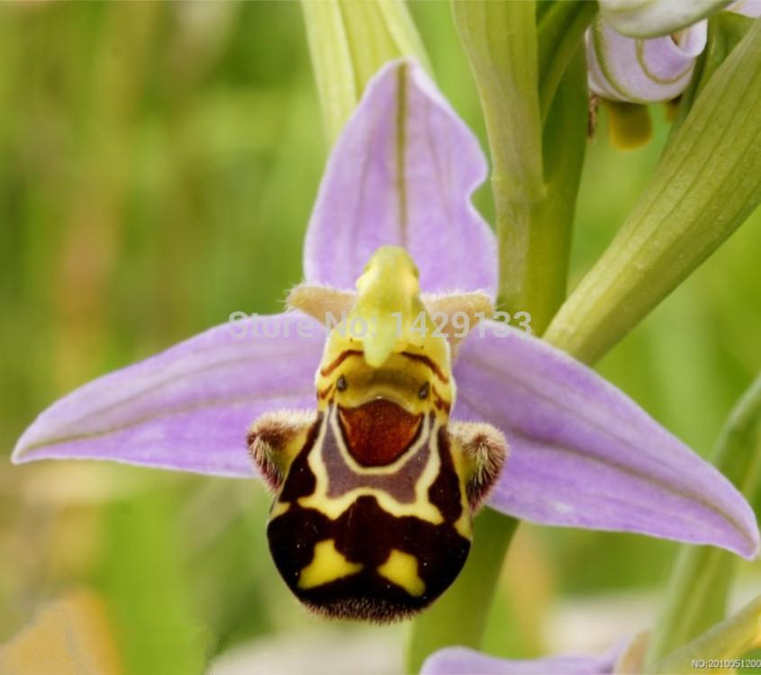 50 Seeds China Rare Flower Bee Orchid Flower Seed Smile Face     50 Seeds China Rare Flower Bee Orchid Flower Seed Smile Face Interesting  Flowers Seed Flora Semillas Bee Gift Cucumber Seeds Cactus Seeds Miniature  Garden