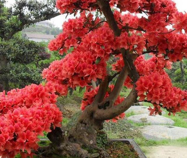 Pcs Red Japanese Cherry Blossoms Seeds Courtyard Garden Bonsai Tree Seeds Small Sakura Tree Seeds Mixed Colors
