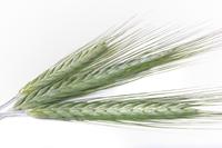 An Inside View of Barley Beta Glucan