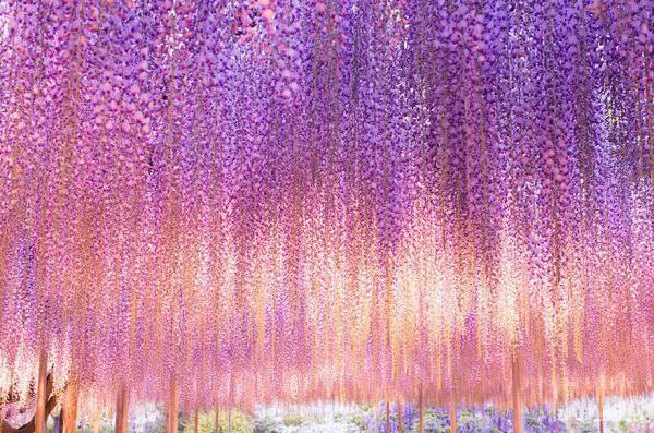 diaforetiko.gr : glisini3 Ένα φυτό 144 ετών που μετατρέπει τον ουρανό σε ροζ υπερθέαμα! Δείτε τις εικόνες που μαγεύουν με την ομορφιά τους…