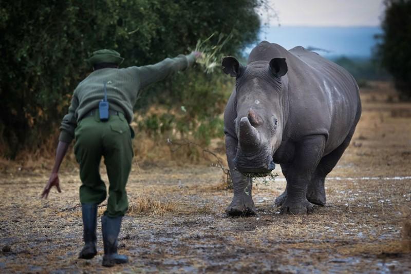 Υπό ένοπλη προστασία ο τελευταίος λευκός αρσενικός ρινόκερος του πλάνητη! - Εικόνα3
