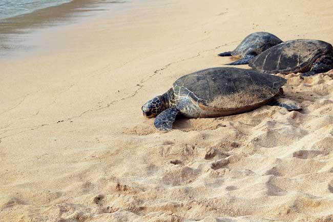 Las tortugas marinas ponen sus huevos en las playas