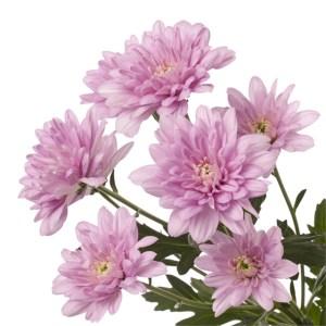 Baltica Pink