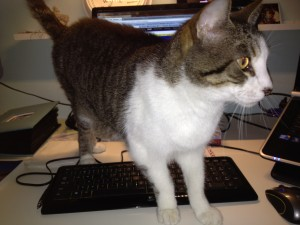 white and gray cat on keyboard