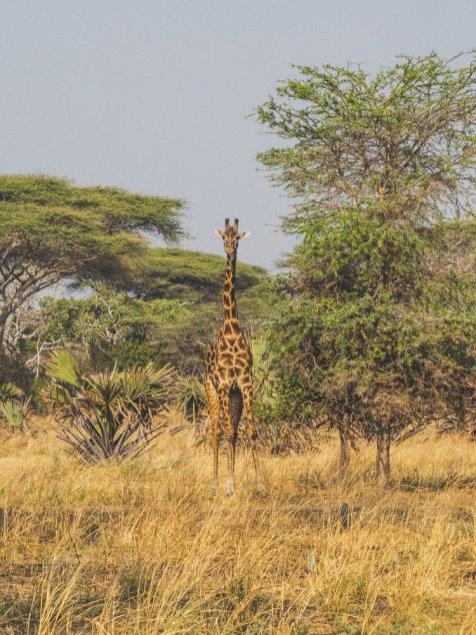 Giraffe Katavi Tanzania