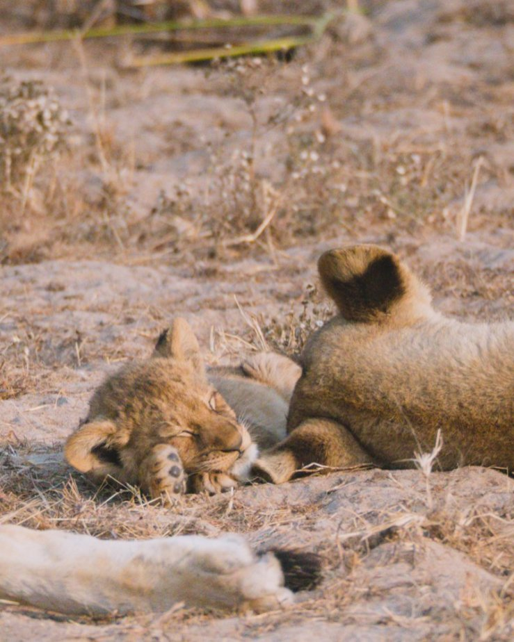 Lioness and baby lions