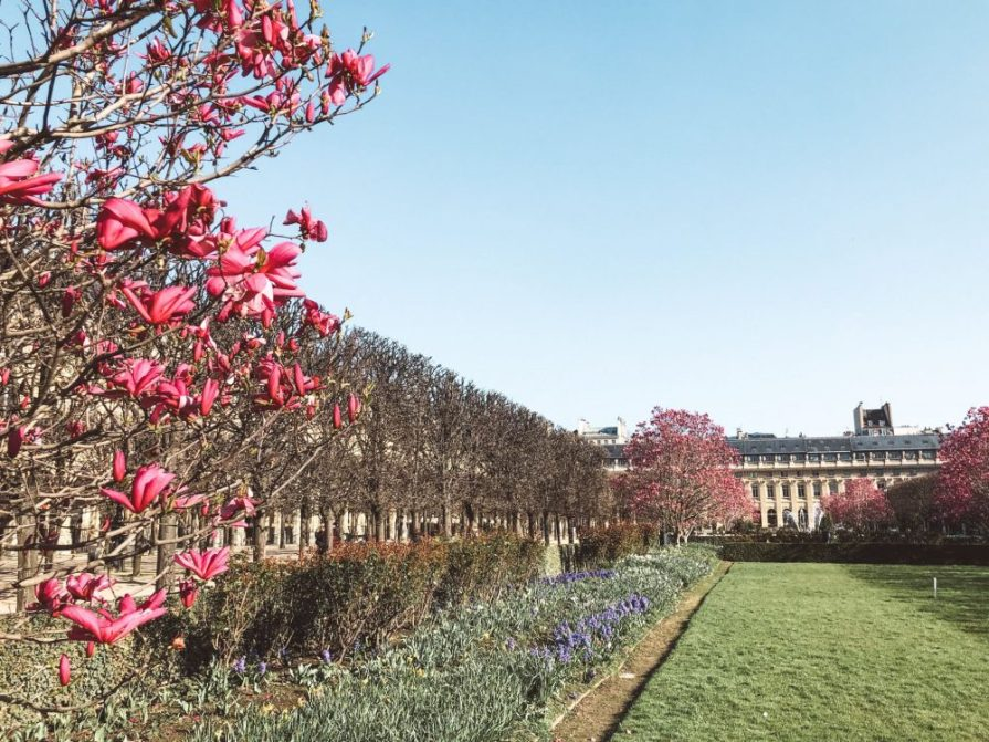 Cherry blossom Paris Palais Royal