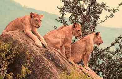 Lions Safaris Tsavo Ouest en camp Kenya de Diani 2jours