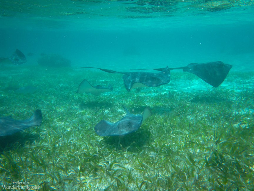 Hungry sting rays at Shark Ray Alley