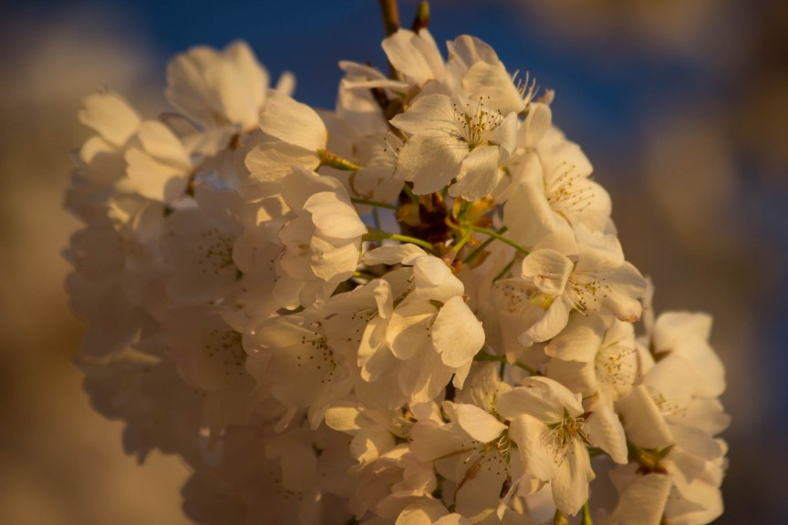 Cherry Blossoms golden hour