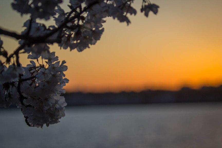 Sunset Cherry Blossoms