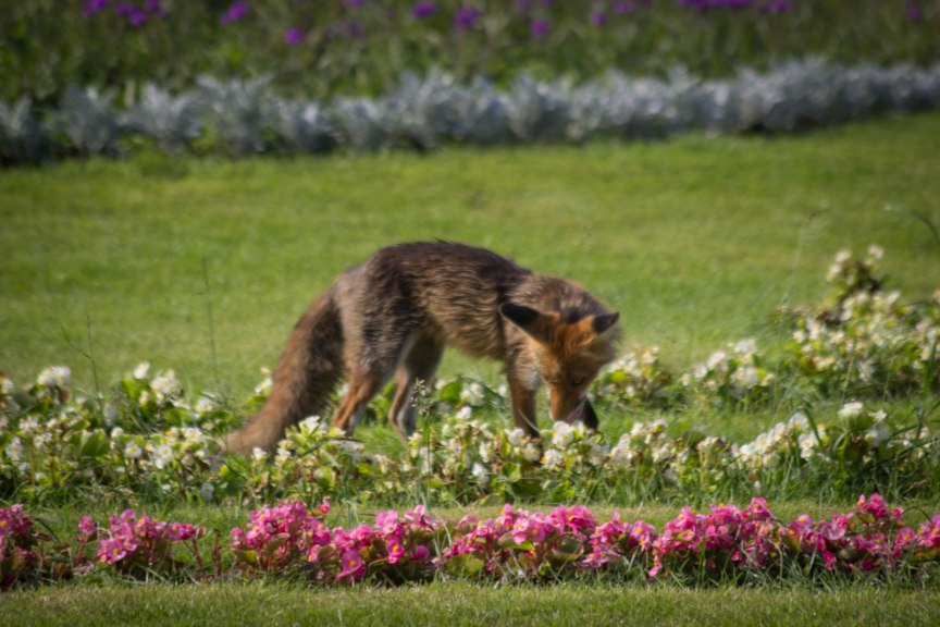 Fox feeding Vienna, Austria travel photos of 2015