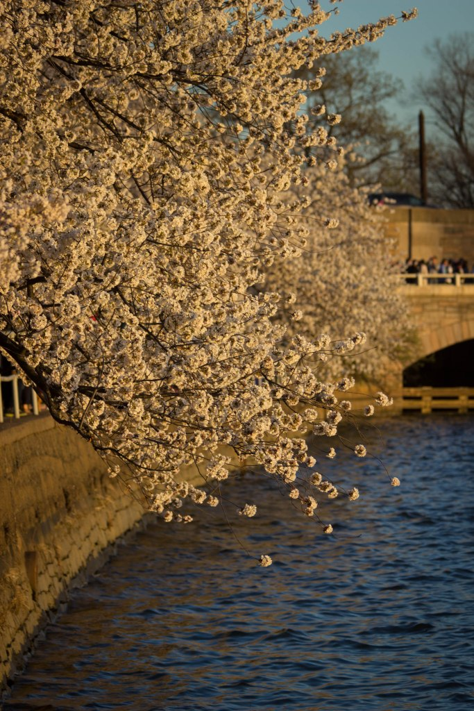Cherry Blossom Festival Washington DC travel photos of 2015
