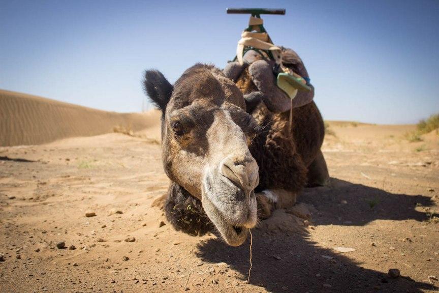 camel Sahara Desert Morocco photos