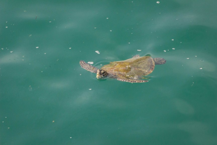 Sea turtle Oman Great Escape Monthly Review