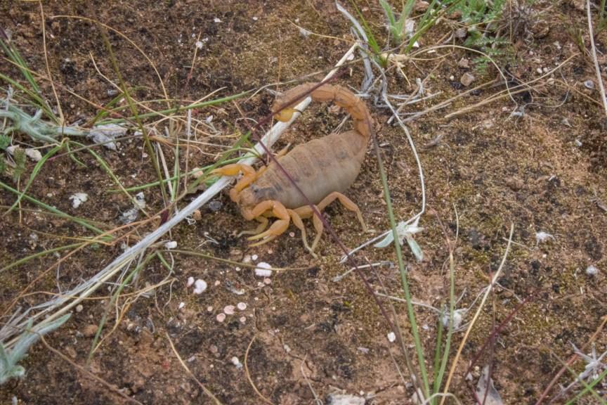 [img] scorpion