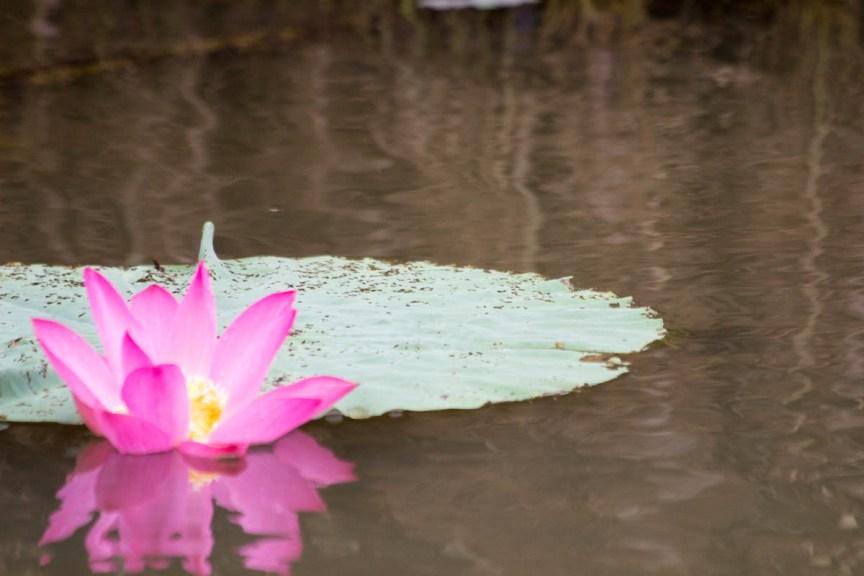 [img] Kakadu National Park lillies