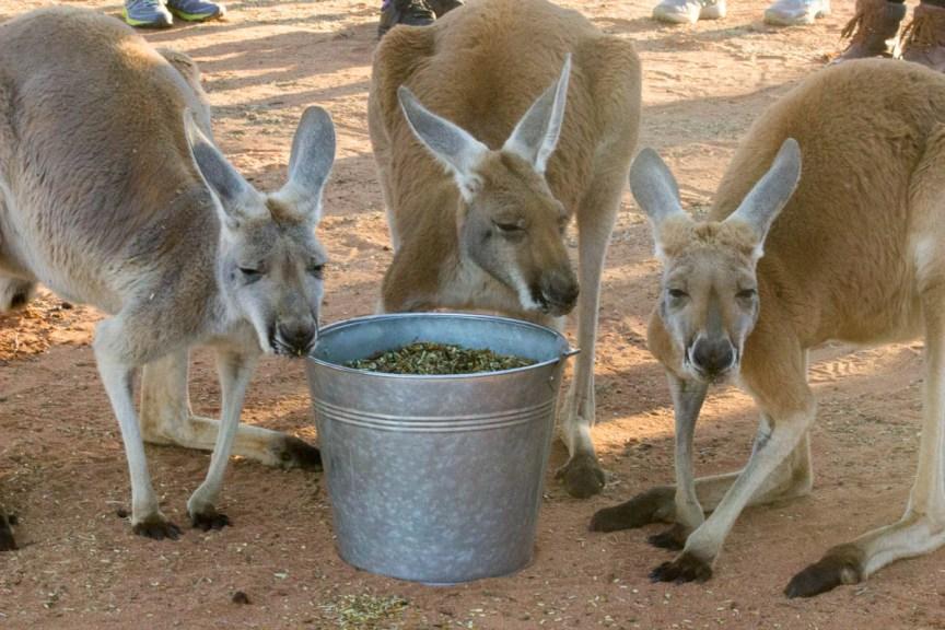 [img] how to visit the kangaroo sanctuary Alice Springs