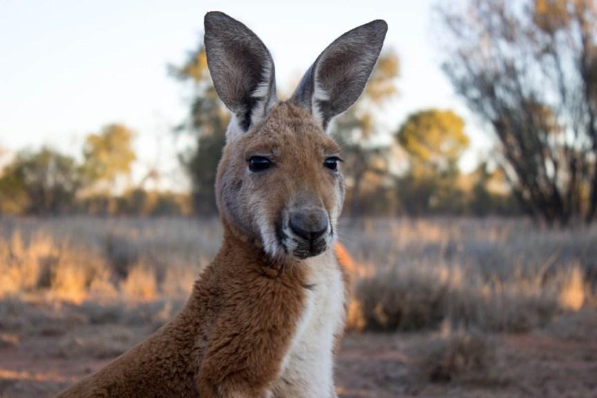 [img] Kangaroo Sanctuary