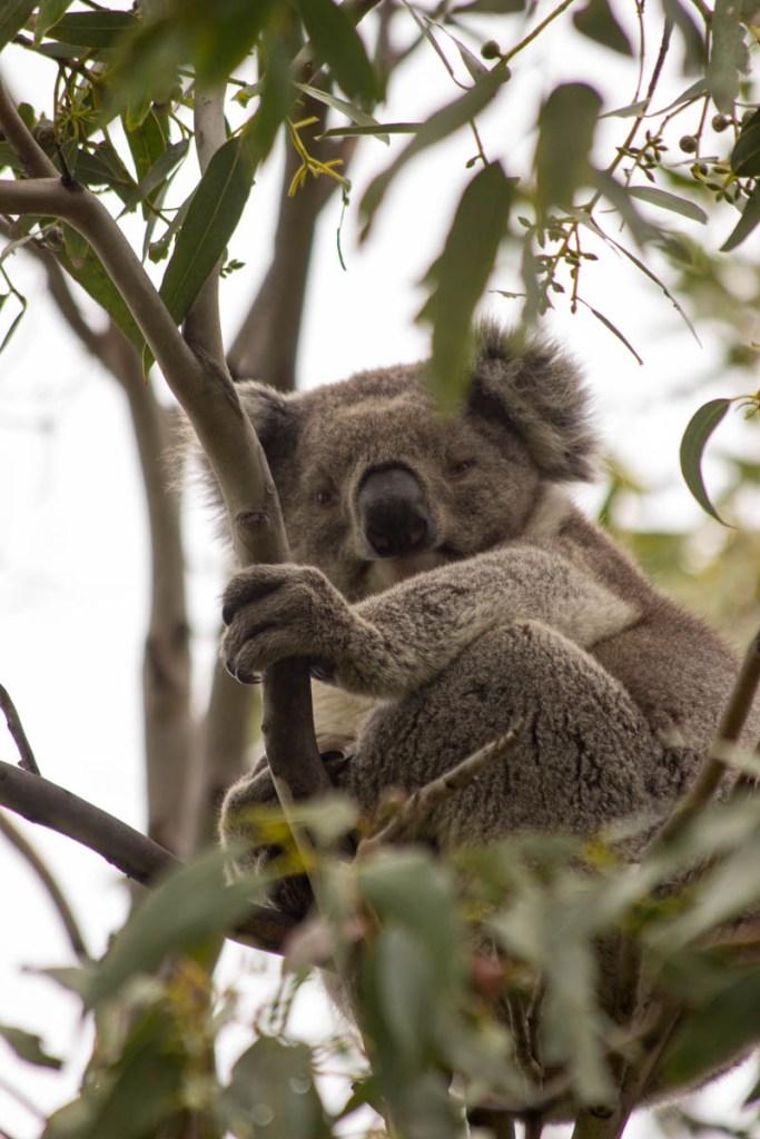 [img] wild koala bear Great Escape Monthly Review September