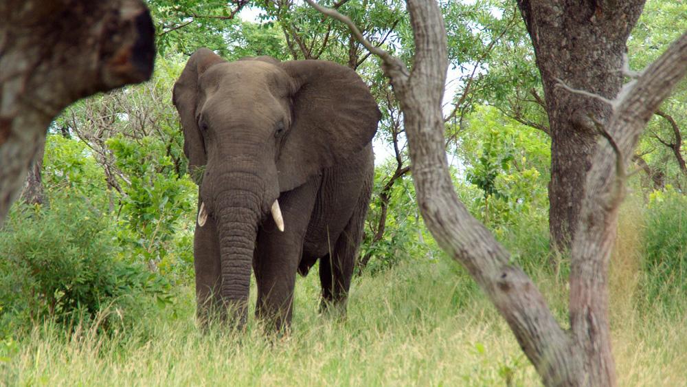 [img] elephant Kruger Park South Africa