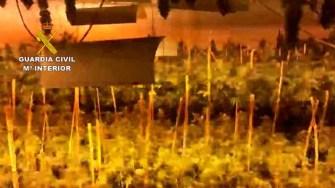 En las 4 operaciones desarrolladas se han intervenido más de 4000 plantas en distintos grados de floración y 45 kilogramos  de cogollos de marihuana.