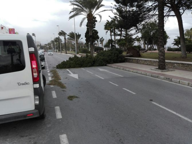 Árbol caído en la carretera en Torre del Mar.