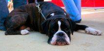 perro festival canino eu