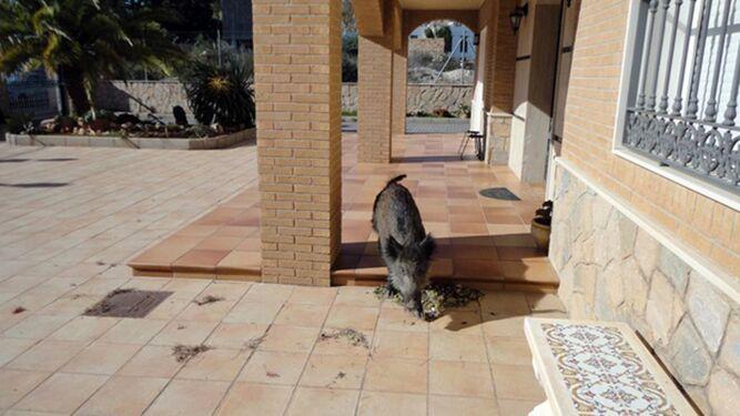 Este jabalí salvaje tuvo que ser capturado de un chalé de Huércal de Almería.