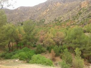 Medio Ambiente deja a Callosa fuera del tratamiento contra la plaga de los pinos