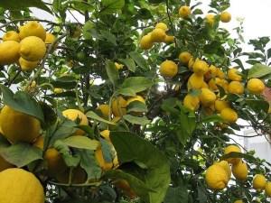 La Pulvinaria, una nueva especie de cochinilla, afecta ya a 5.000 hectáreas de cítricos en la comarca de la Vega Baja
