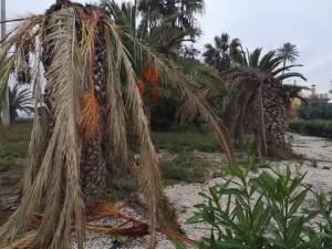"""El PP denuncia la """"tala indiscriminada de árboles"""" y las """"palmeras devoradas"""" por el picudo rojo en Benejúzar"""