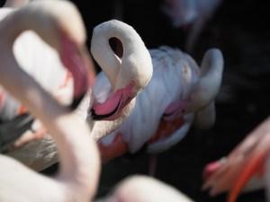 Los flamencos se reproducen por primera vez en las salinas de Torrevieja y se estima que la cantidad de pollos supera los 600