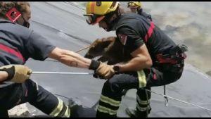 Rescatan a dos jabalíes de una balsa de Redován