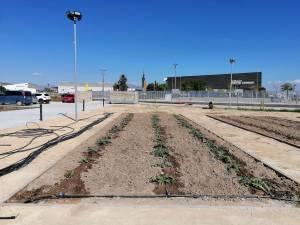 Almoradí colabora con la Estación Experimental Agraria de Elche para continuar con su estrategia agroturística con la alcalchofa