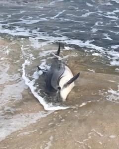 Encuentran varado en la playa de Los Locos a un delfín listado