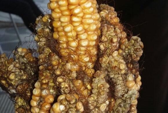 Resultado de imagem para Agricultor da região de Cajazeiras fica surpreso ao colher 20 espigas de milho em uma só