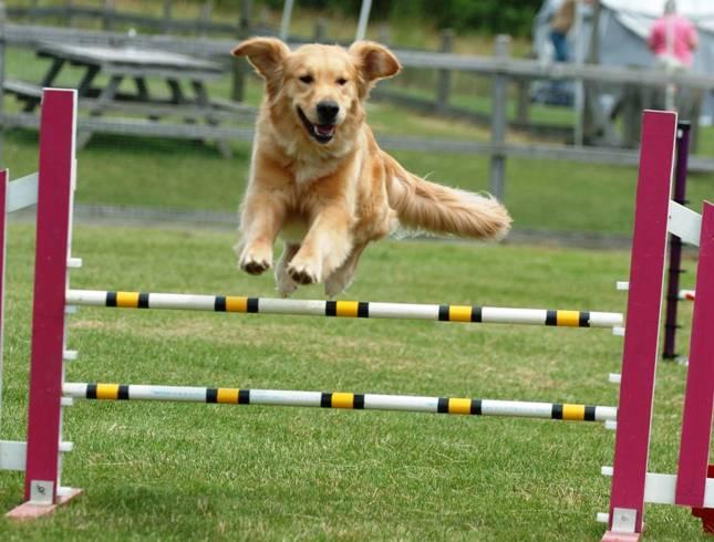 Las destrezas caninas con Agility Show estaran en la rural