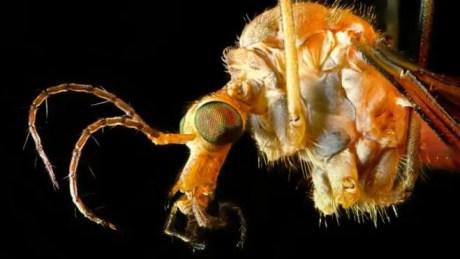 Su tamaño es minúsculo pero su picadura es muy peligrosa para el ser humano. Suelen atacar durante el día.