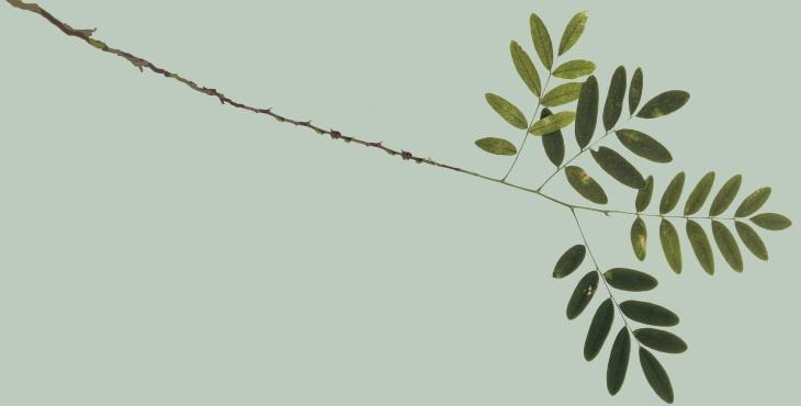 La acacia me es conocida - Diario Masónico