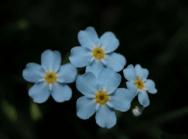 Flor silvestre que se observa en casi todos los jardines