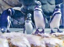 Pinguinário faz parte das atrações da Escola-Parque. Foto: Divulgação